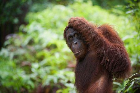 looked: Has reflected. The orangutan, leaving, has looked back and has reflected, having scratched a head.