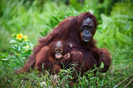 Female the orangutan with the kid on a grass. Indonesia.Borneo.
