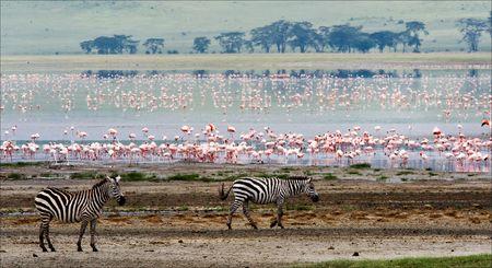 Two zebras and flamingo. Two zebras go on coast of lake from a flamingo. photo