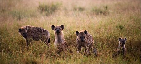 hyena: Crocuta crocuta. Family of hyenas.Hyenas early in the morning in a grass. Stock Photo