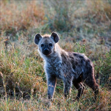 The spotted hyena (Crocuta crocuta) also known as laughing hyena, is a carnivorous mammal of the family Hyaenidae, of which it is the largest extant member. photo