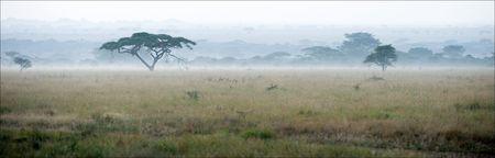 Savane dans un brouillard de la matinée. Un paysage de la matinée, un brouillard dans la savane, acacias.