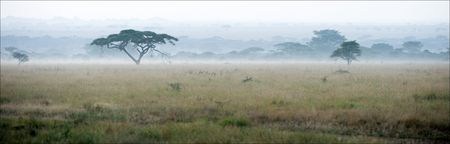 savanna: Savanna in a morning fog. A morning landscape, a fog in savanna, acacias.