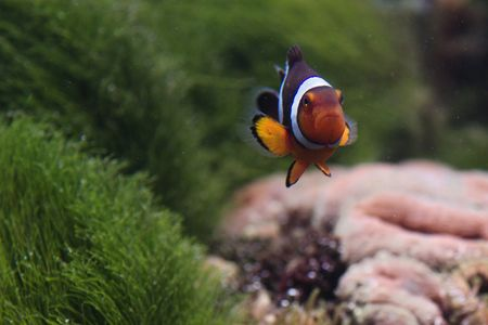 clown fish amphiprion: The bright color small sad small fish swims against dark green seaweed. Amphiprion. Stock Photo