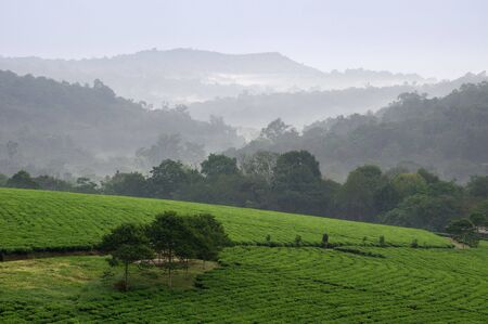 Gray morning fog over tea plantations Bwindi. Uganda.  Africa. photo