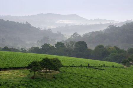 Matin gris brouillard sur les plantations de thé Bwindi. Ouganda.  Afrique.