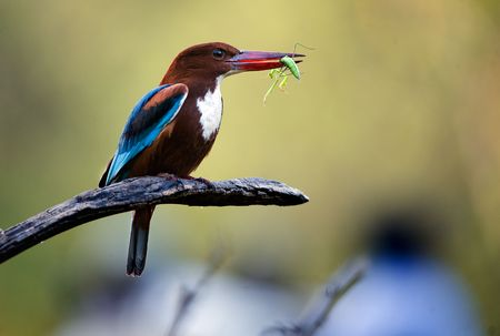 Kingfisher with grasshoper.  On a green background the halcyon sits on a branch and holds a grasshopper in a beak photo