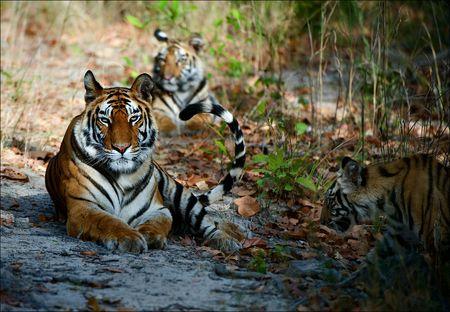 phylum chordata: India tres tigres de Bengala en un glade madera