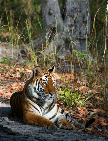 Tigress.  In a sunny day the tigress lies on a wood glade. India.Bandhavgarh National Park photo