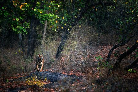 A huge male Tiger walks straight head on in Bandhavgarh National Park, India photo
