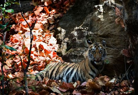 Cute bengal tiger cub. The Bengal tiger or Royal bengal tiger, Panthera tigris tigris or Panthera tigris bengalensis is a subspecies of tiger primarily found in India and Bangladesh. They are also found in Nepal, Pakistan, Bhutan, Myanmar and southern Tib photo