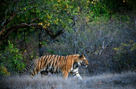 A huge male tiger walking in the jungles of Bandhavgarh National Park, India photo