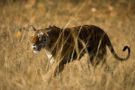 Alert wild Bengal tiger walking on short dry grass in Bandhavgarh  national park photo