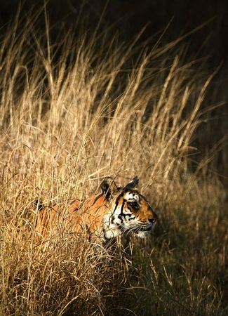 Portrait of Bengal Tiger in Grass. photo