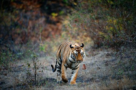 Un �norme tigre m�le marche t�te droite sur le Parc National de Bandhavgarh, en Inde.