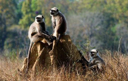 involved: Langurs involved in mock fighting in Kanha Tiger Reserve.