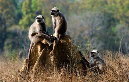 Langurs involved in mock fighting in Kanha Tiger Reserve.