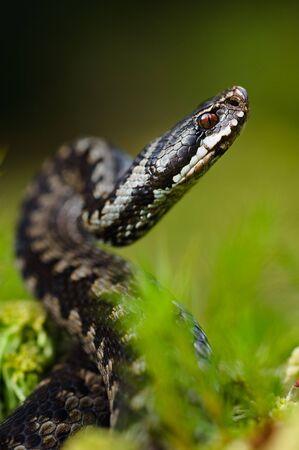 Gemeinsame Viper bereitet sich auf einen entfernt.Kreuzotter, die gemeinsamen europäischen Adder oder gemeinsamen europäischen Viper, ist eine giftige Viper, die sehr weit verbreitet ist.