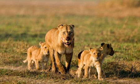 conducts: Lioness with three cubs. The lioness after hunting conducts cubs to prey.