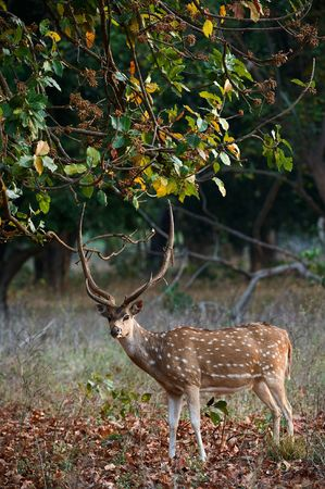 deer spot: Male Axis or Spotted Deer (Axis axis) INDIA Kanha National Park Stock Photo