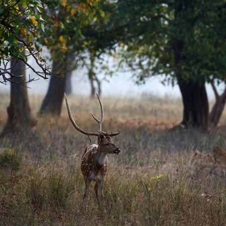 axis: Eje macho o Parque de nacional de Kanha de INDIA de ciervo moteado (eje eje)  Foto de archivo