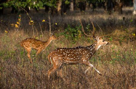 axis: Eje o Parque de nacional de Kanha de INDIA de ciervo moteado (eje eje)