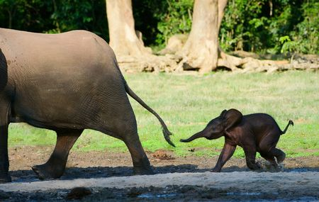 dwelling: The African Forest Elephant (Loxodonta cyclotis) is a forest dwelling elephant of the Congo Basin. Stock Photo