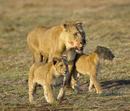 Lioness after hunting with cubs. The lioness with a blood-stained muzzle has returned from hunting to the kids to young lions. photo