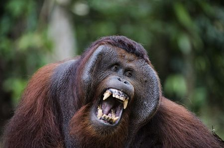 primates: Pongo pygmaeus wurmbii - southwest populations. The orangutans are the only exclusively Asian living genus of great ape. They are among the most intelligent primates and use a variety of sophisticated tools, also making sleeping nests each night from bran Stock Photo