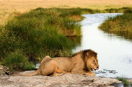 The lion (Panthera leo  nubica), known as the East African or Massai Lion, is found in east Africa, from Ethiopia and Kenya to Tanzania and Mozambique. photo
