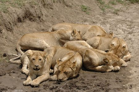 female lion: Six lions. In hot day six lions have a rest in a hollow.