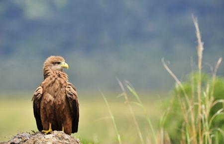 milvus:  Black Kite (Milvus migrans.) Bird of prey Black Kite, sitting on a stone, it is wide opened  a beak.