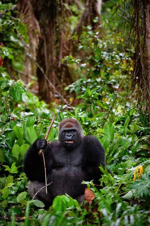 Portrait of male Western Lowland Gorilla.The male of a gorilla poses in front of the camera. A native habitat photo