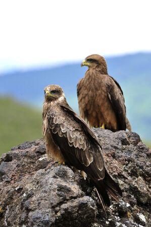 milvus: Black Kite (Milvus migrans.) Two Black kites sit on a stone, a green grass.