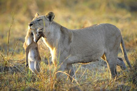 symbol victim: A lioness with new-born antelope prey. The lioness goes on savanna and bears the killed kid of an antelope. A yellow grass. The morning sun. Stock Photo