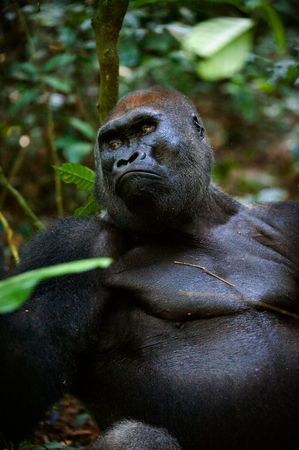 hairy arms: Silverback -  adult male of a gorilla.Western Lowland Gorilla.