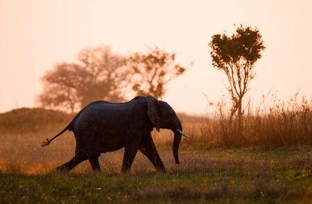 Fonctionnant sur un coucher de soleil. Un �l�phant marche dans les poutres du soleil coucher du soleil. Savanna. Le soleil � venir. Banque d'images