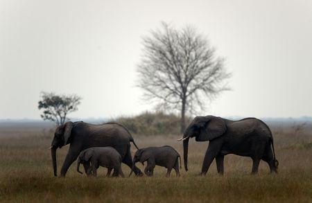 Family of elephants. The family of elephants runs on savanna. Twilight. The sun has sat down for horizon. photo