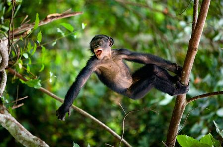 Kid Bonobo plays. The cub of Bonobo frolics in branches of trees. Congo. Natural conditions of dwelling. Stock Photo - 8158434