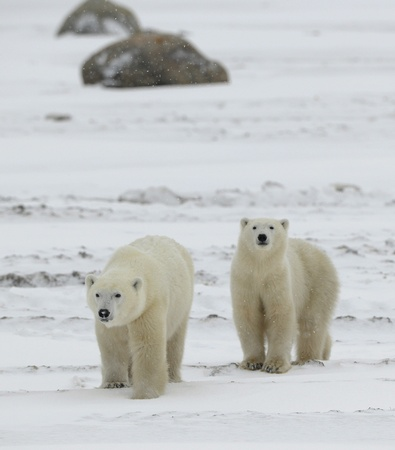 polar: Two polar bears. Two polar bears go on snow-covered tundra one after another.It is snowing.