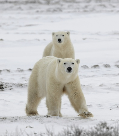 interested: Polar bears have become interested. Snow-covered tundra. It is snowing.