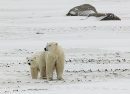 Two polar bears. 2 .Two polar bears in snow-covered tundra stand nearby. It is snowing. Stock Photo - 8307645
