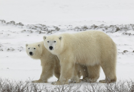 interested: Couple. Polar bears have become interested. Snow-covered tundra. It is snowing.