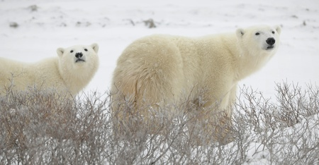 polar: Large polar bears on the arctic snow near Hudson Bay, sniffing the air.Snow.Tundra.