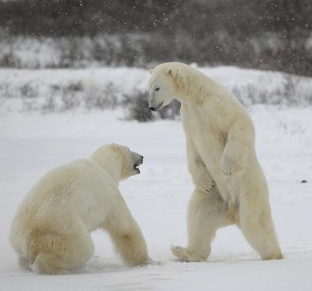tundra: Fight of polar bears. Two polar bears fight. Tundra with undersized vegetation. Snow.