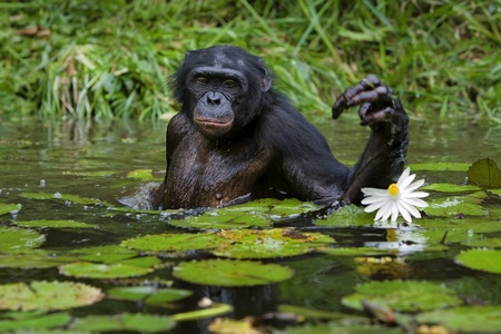 collects: The chimpanzee collects flowers. The chimpanzee costs in water and tries to keep step with a lily flower
