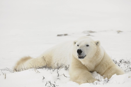 tundra: Rest of polar bears.  Two polar bears have a rest in an undersized bush. Snow-covered tundra.