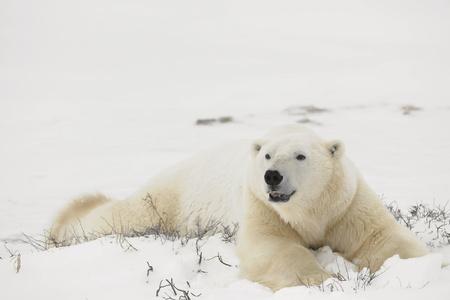 Reste des ours polaires.  Deux des ours polaires ont un repos dans un buisson immatures. Toundra couvert de neige.