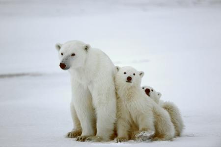 Polar she-beer met cubs. De polar she-beer met twee kinderen op sneeuw bedekte kust. Stockfoto