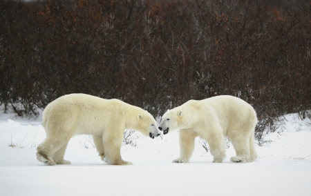 Meeting of two polar bears. Two polar bears have met against a dark bush. Stock Photo